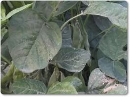 ハウス内の枝豆