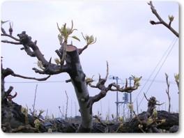 ル・レクチエの芽