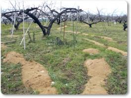 桃の木にもみ殻たい肥