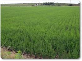 稲は順調。