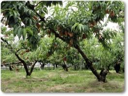 桃の袋がけ
