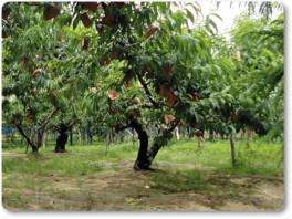 桃の袋がけ02
