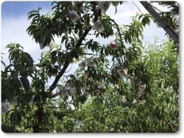 収穫間近の桃。