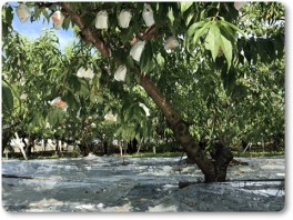 収穫間近の桃。2