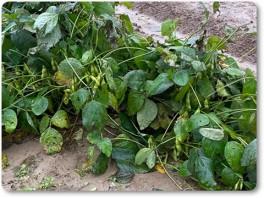 台風後の枝豆