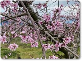 桃の花も満開