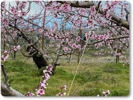 桃の花も満開-02