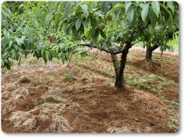桃畑にもみ殻たい肥