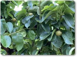 摘果済みの和梨