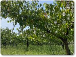 桃の収穫後。