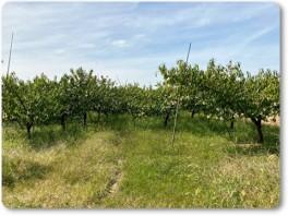 桃の収穫後-02