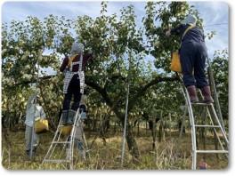 ル・レクチエの収穫-02