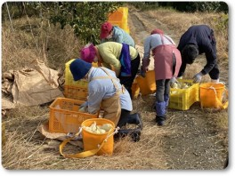ル・レクチエの収穫-03