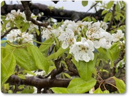 ル・レクチエの花