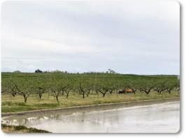 モモ畑の除草作業