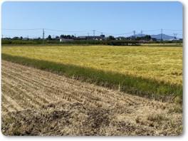 米の収穫は、まだ。